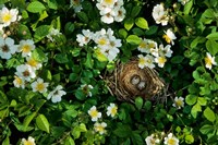 Song Sparrow Nest With Eggs, IL Fine Art Print