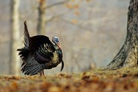 Eastern Wild Turkey Strutting, Illinois Fine Art Print
