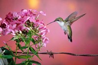 Ruby-Throated Hummingbird Near Garden Phlox Fine Art Print