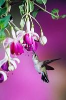 Ruby-Throated Hummingbird Near Hybrid Fuchsia Fine Art Print
