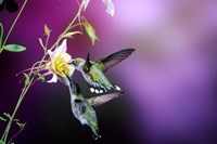 Ruby-Throated Hummingbird Females At Mckana Hybrid Columbine, Shelby County, Illinois Fine Art Print
