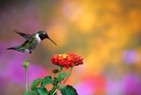 Ruby-Throated Hummingbird At Dallas Red Lantana Fine Art Print