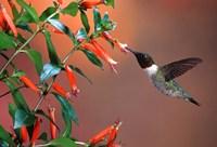 Ruby-Throated Hummingbird At Cigar Plant Fine Art Print