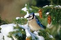 Blue Jay In Winter Spruce Tree Fine Art Print