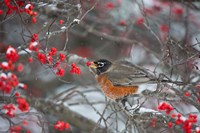 American Robin Eating Berry In Common Winterberry Bush Fine Art Print