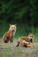 Red Fox Adults With Kit Fine Art Print