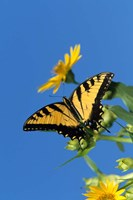 Eastern Tiger Swallowtails On A Cup Plant Fine Art Print