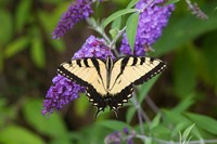 Eastern Tiger Swallowtail On Butterfly Bush Fine Art Print