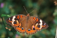 Common Buckeye Fine Art Print