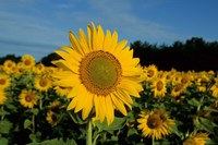 Common Sunflower Field, Illinois Fine Art Print