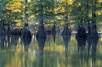 Bald Cypress Trees At Horseshoe Lake State Park, Illinois Fine Art Print