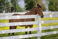 Horse At Fence, Kentucky Fine Art Print