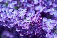 Close-Up Of A Purple Lilac Tree, Arnold Arboretum, Boston Fine Art Print