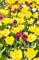 Vibrant Tulip Garden, Massachusetts Fine Art Print