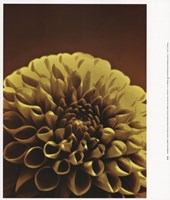 Chocolate Dahlia II Fine Art Print
