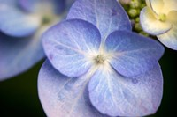 Blue Lacecap Hydrangea, Massachusetts Fine Art Print
