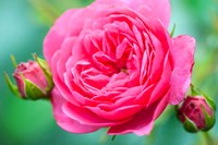 Hot Pink Knock Out Rose, Massachusetts Fine Art Print