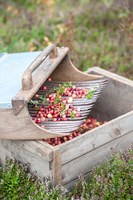 Cranberries And Scoop, Massachusetts Fine Art Print