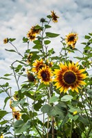 Tall Sunflowers In Cape Ann, Massachusetts Fine Art Print