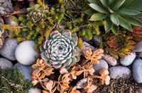 Cape Ann Succulents Fine Art Print