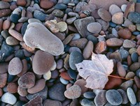 Maple Leaf And Rocks Along The Shore Of Lake Superior Fine Art Print