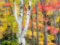 Hardwood Forest In Autumn Fine Art Print