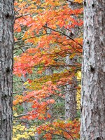 Fall Pine Trees In The Forest, Michigan Fine Art Print