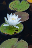White Water Lily Flowering In A Pond Fine Art Print