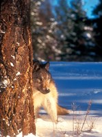 A Gray Wolf On The Alert In Winter Fine Art Print