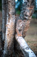 Bobcat On A Fallen Birch Limb Fine Art Print