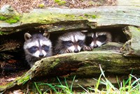 Three Young Raccoons In A Hollow Log Fine Art Print