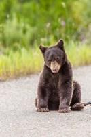 Bear Cub On Camas Road Fine Art Print