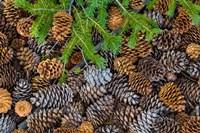 Pine Cones And Douglas Fir Bough, Nevada Fine Art Print