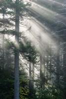 Sun Rays Shining Through Foggy Pine Trees Fine Art Print