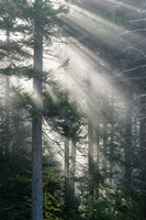 Sun Rays Shining Through Foggy Pine Trees Fine Art Print