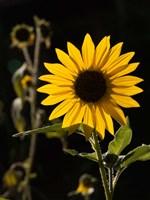 Backlit Sunflower, Santa Fe, New Mexico Fine Art Print