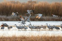 Sandhill Cranes Flying, New Mexico Fine Art Print