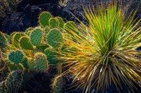 Cactus On Malpais Nature Trail, New Mexico Fine Art Print