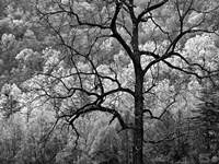 Tree Caught In Dawn's Early Light, North Carolina (BW) Fine Art Print