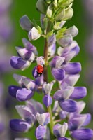 Ladybug On A Lupine Flower Fine Art Print