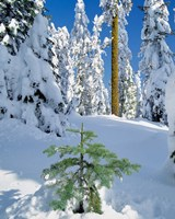 Scenic Of New Snow On Forest, Oregon Fine Art Print