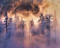 Evergreens In Fog, Mt Hood National Forest, Oregon Fine Art Print