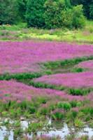 Purple Loosestrife Flowers In A Marsh, Oregon Fine Art Print