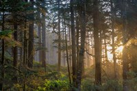 Sunset Rays Penetrate The Forest In The Siuslaw National Forest Fine Art Print