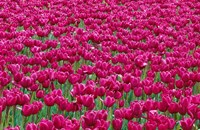 Field Of Purple Tulips In Spring, Willamette Valley, Oregon Fine Art Print