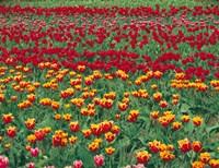 Field Of Colorful Tulips In Spring, Willamette Valley, Oregon Fine Art Print