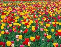 Field Of Bright Tulips In Spring, Oregon Fine Art Print