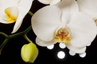 White Hybrid Orchids On Black Fine Art Print