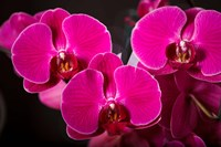 Purple Hybrid Orchids On Black Fine Art Print