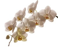 White Hybrid Orchids On White Fine Art Print